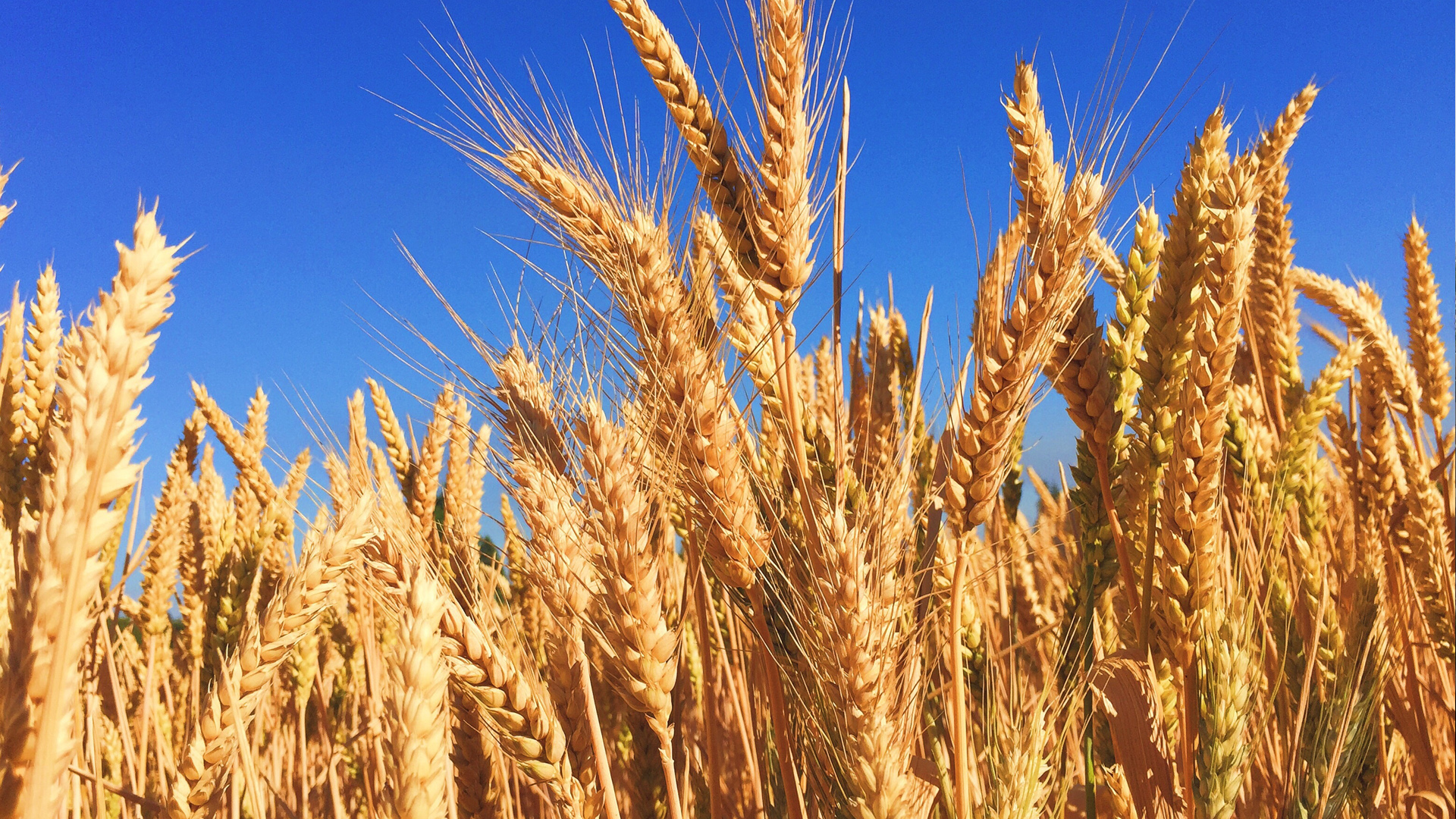 Policy Progress: The Certification Procedure For Barley Export Was Simplified