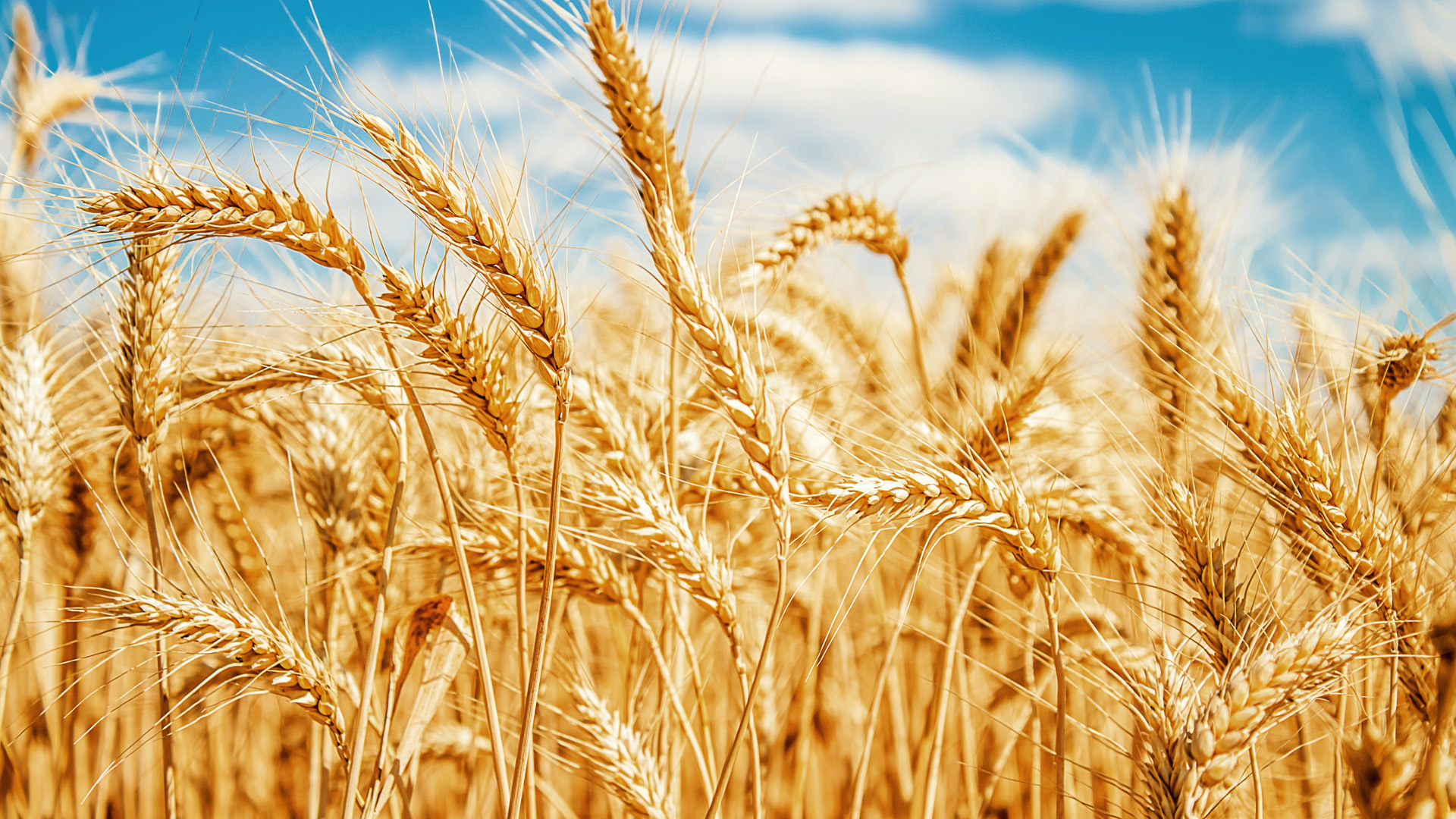 Підписано додаток до Меморандуму про взаєморозуміння, що затвердив граничні обсяги експорту пшениці на 2020/2021 маркетинговий рік